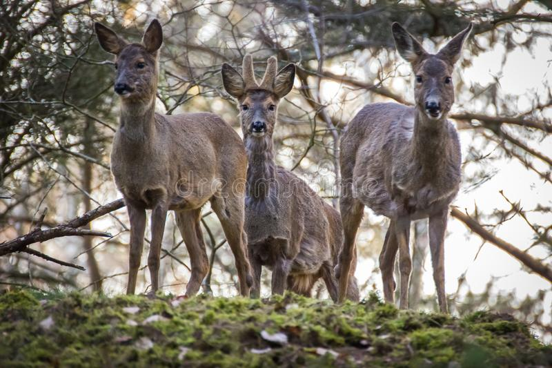 Family of deers in a forest royalty free stock photos