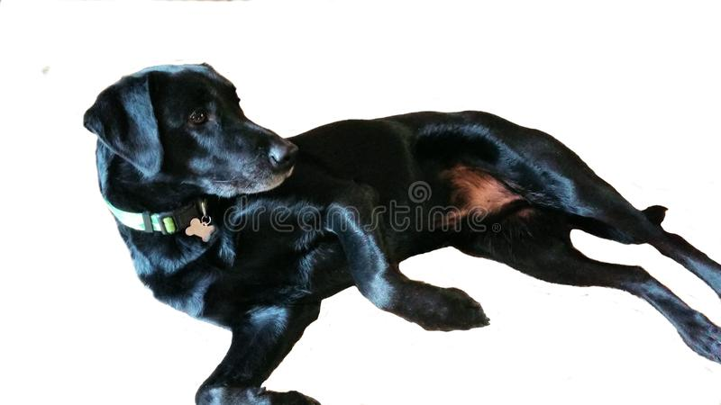 Family Dog Black Lab Mutt Old Dog with Collar royalty free stock photo