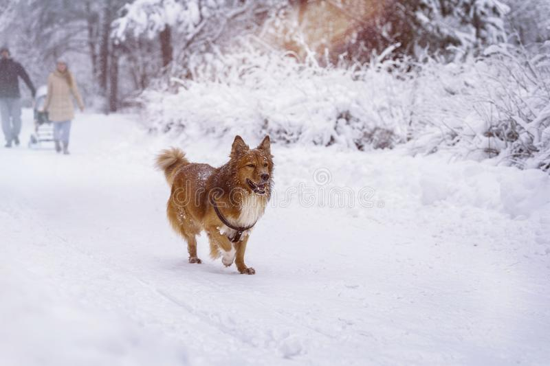 Family and dog walk together in a winter park with snow, royalty free stock photos