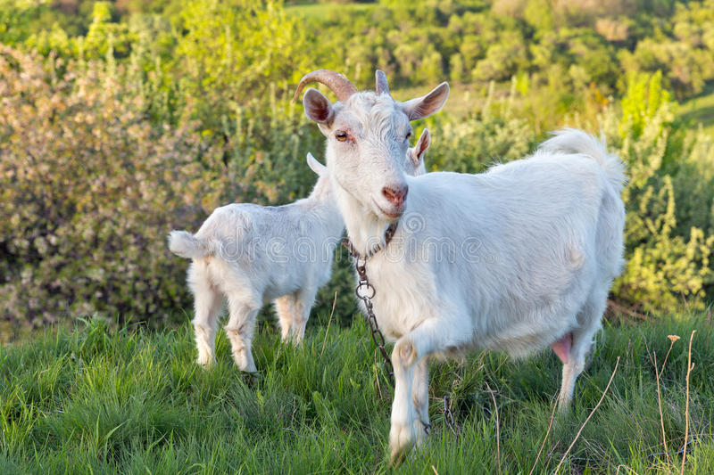 Family of domestic goats in a pasture spring orchard. Central Ukraine royalty free stock photo