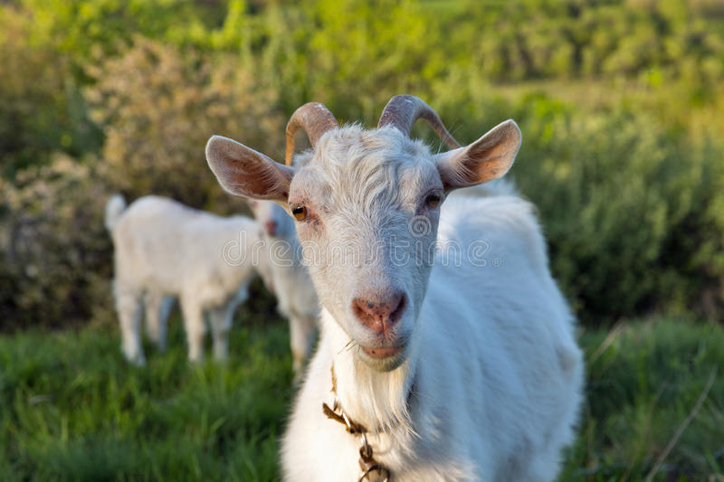 Family of domestic goats in a pasture spring orchard. Central Ukraine royalty free stock photos