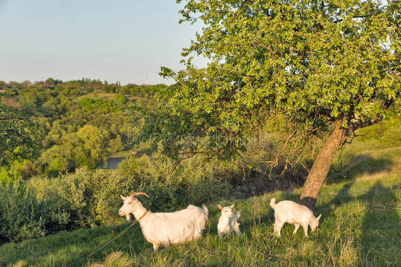 Family of domestic goats in a pasture spring orchard. Central Ukraine royalty free stock photography
