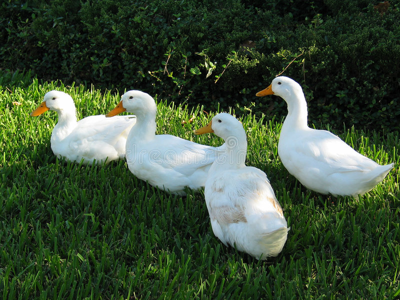 Family of Ducks. A family of four ducks walking along sunlit grass stock images