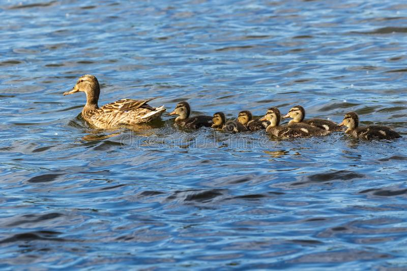 A family of ducks, a duck and six little ducklings are swimming in the water. One line. The duck takes care of its newborn ducklings. Ducklings are all royalty free stock photos