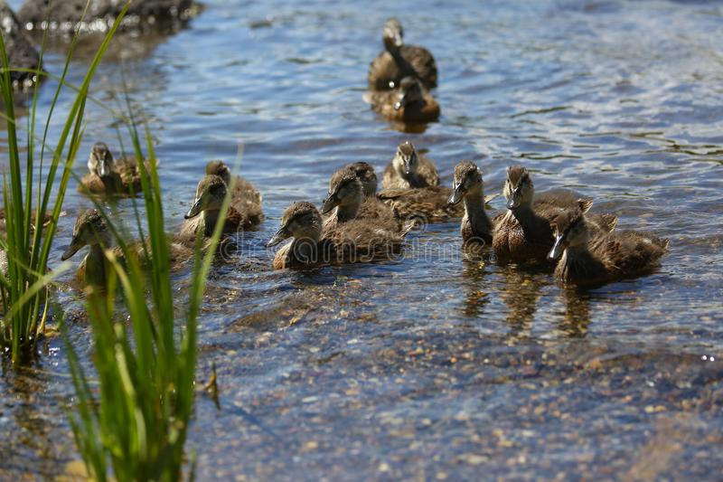Family of ducks. Swimming happily in a river near Yellowstone national park royalty free stock photos