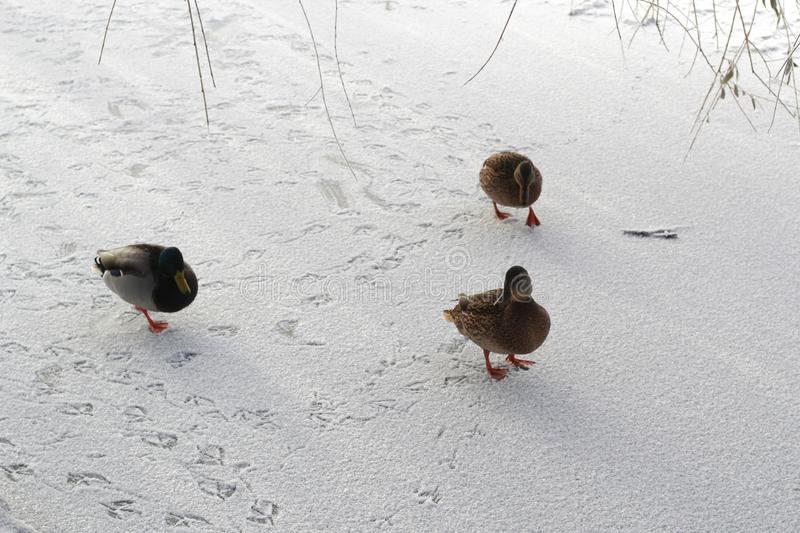 A family of ducks is on a frozen pond leaving traces in the snow stock photos