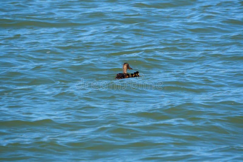 Family of ducks in Lake Ivars and Vilasana, Lleida royalty free stock photography