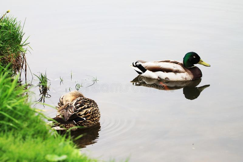 Family of ducks resting on the bank of the river during the spring rain stock images
