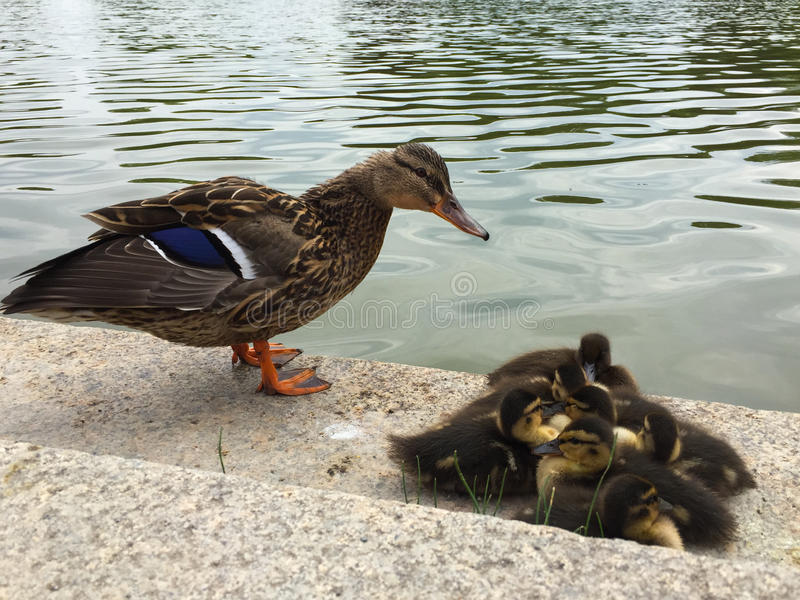 Family of ducks standing on the shore. stock photography