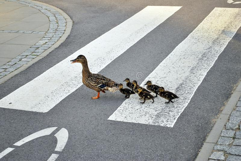 Family of ducks walking a straight line in front stock photos