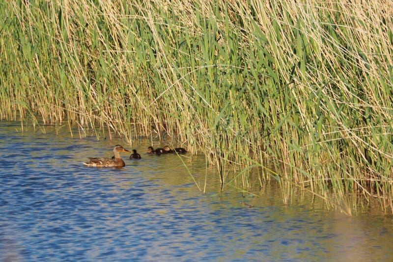 Family of ducks, where he tries to control his chicks, ivars, vilasana, lerida royalty free stock photography