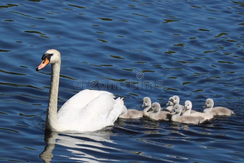Swan Swimming with Cygnets. A family of eight young mute swan Cygnus olor cygnets swimming with the swan parent on a blue lake in Springtime. The cygnets are