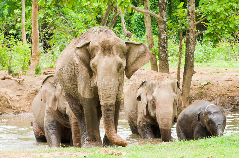 The family of elephant in the forest stock photography