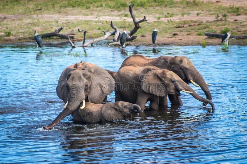 A family of Elephants drinking from the Chobe River, Botswana royalty free stock photography