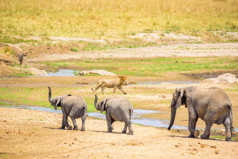 Family of elephants and lions at waterhole in Tarangire national park, Tanzania - Safari in Africa.  royalty free stock photos