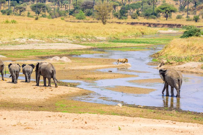 Family of elephants and lions at waterhole in Tarangire national park, Tanzania - Safari in Africa.  royalty free stock image