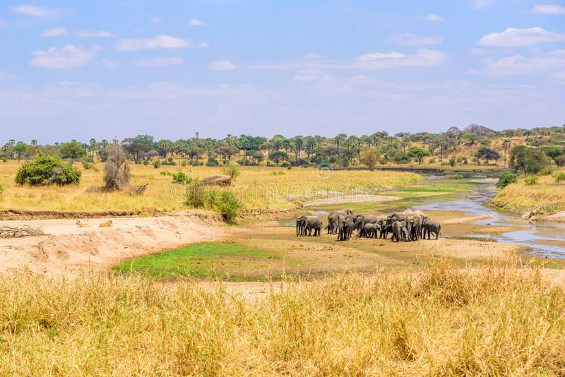 Family of elephants and lions at waterhole in Tarangire national park, Tanzania - Safari in Africa.  royalty free stock photography