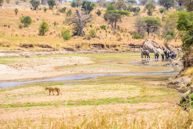 Family of elephants and lions at waterhole in Tarangire national park, Tanzania - Safari in Africa.  stock photos