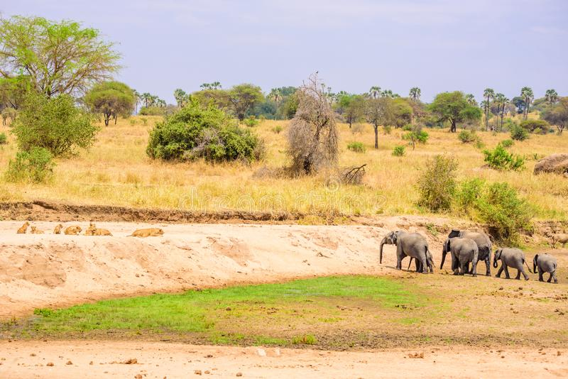 Family of elephants and lions at waterhole in Tarangire national park, Tanzania - Safari in Africa.  stock image