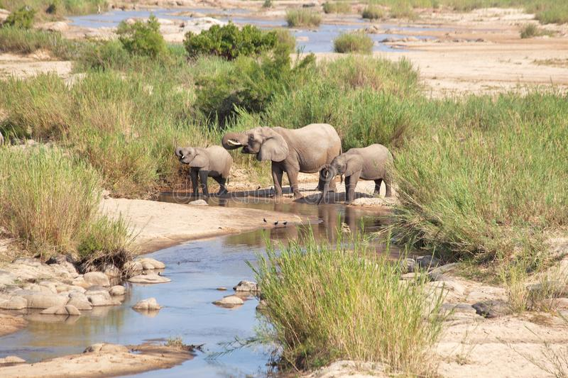 A FAMILY OF ELEPHANTS QUENCHING THEIR THIRST stock images