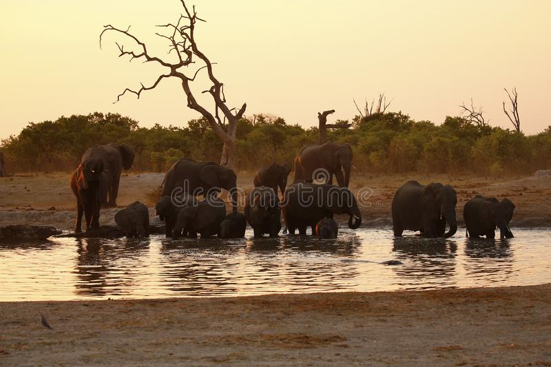 Family of Elephants sharing a waterhole with a Hippo stock photos