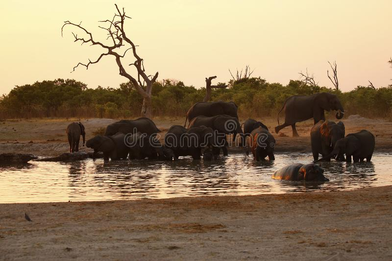 Family of Elephants sharing a waterhole with a Hippo stock image