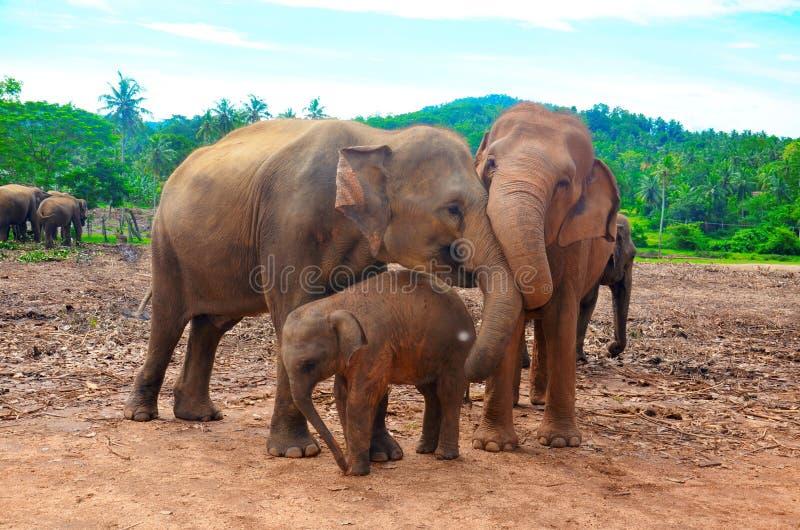 A family of elephants. Sri Lanka stock photography