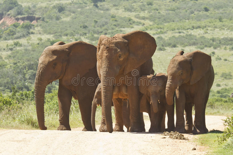 Family of elephants walking along a dusty road stock photo