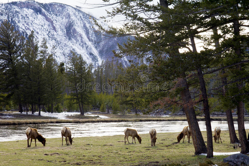 Family Of Elk Grazing Along The River stock image
