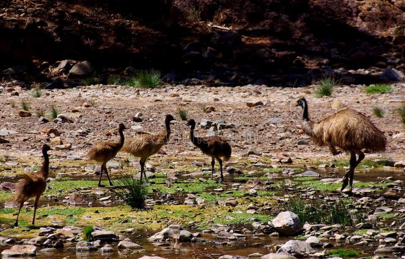 Emus in Parachilna Gorge. A family of emus in the remote Parachila Gorge (Flinders Ranges, Australia royalty free stock images