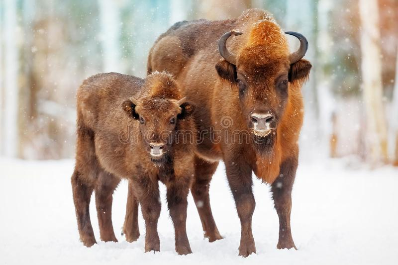 Family of European bison in a snowy forest stock photo