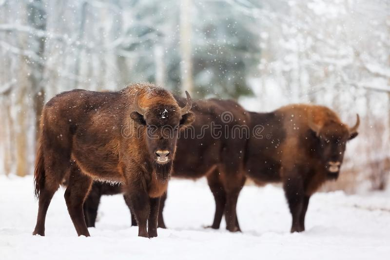 Family of European bison in a snowy forest. Natural winter christmas image royalty free stock photos