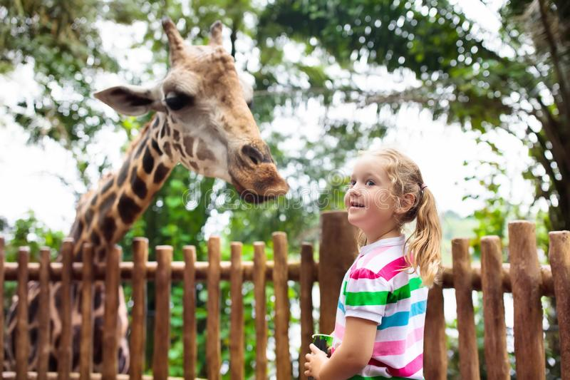 Kids feed giraffe at zoo. Children at safari park. Family feeding giraffe in zoo. Children feed giraffes in tropical safari park during summer vacation in royalty free stock image