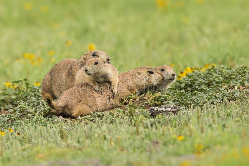 Family gathering. Of prairie dogs royalty free stock photos