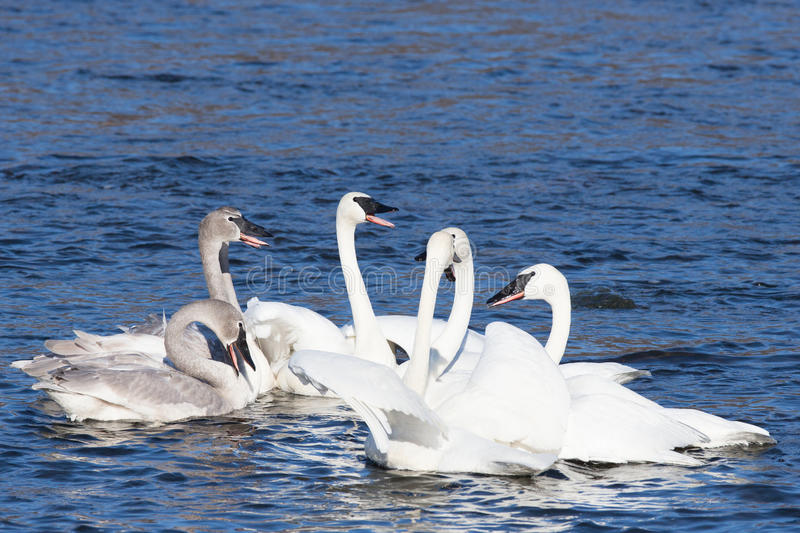Family gathering of swans. On river stock photo