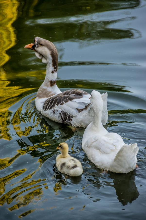 Family of geese with brood royalty free stock photo
