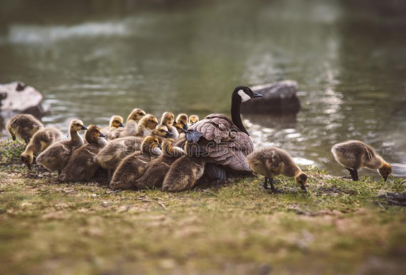Family of geese goslings stock image