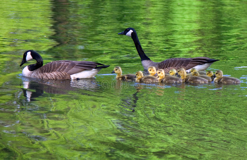 Download Family of geese swims stock image. Image of aquatic, chic - 5595357
