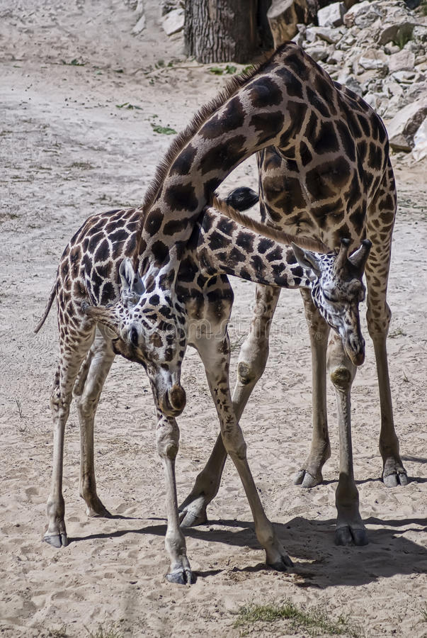 Download Family of giraffes stock photo. Image of group, animals - 9910168