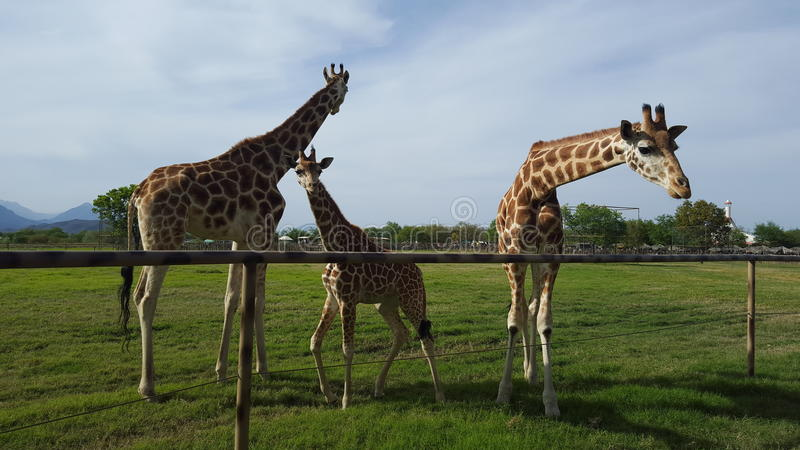 Family of giraffes royalty free stock image