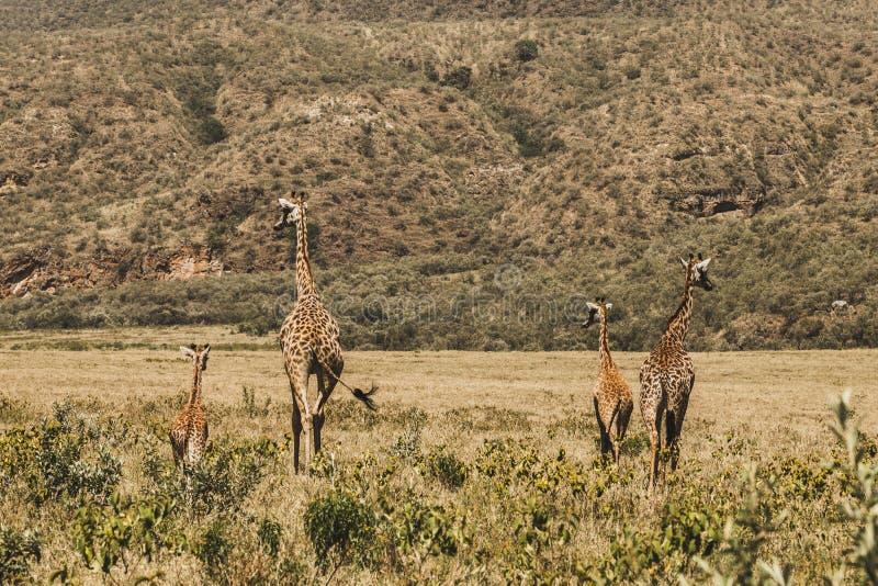 Family of giraffes walking in Kenya national park. In Africa. Amazing wild life of animals. Flock of giraffes. Safari in Nairobi, welcome to Africa stock image