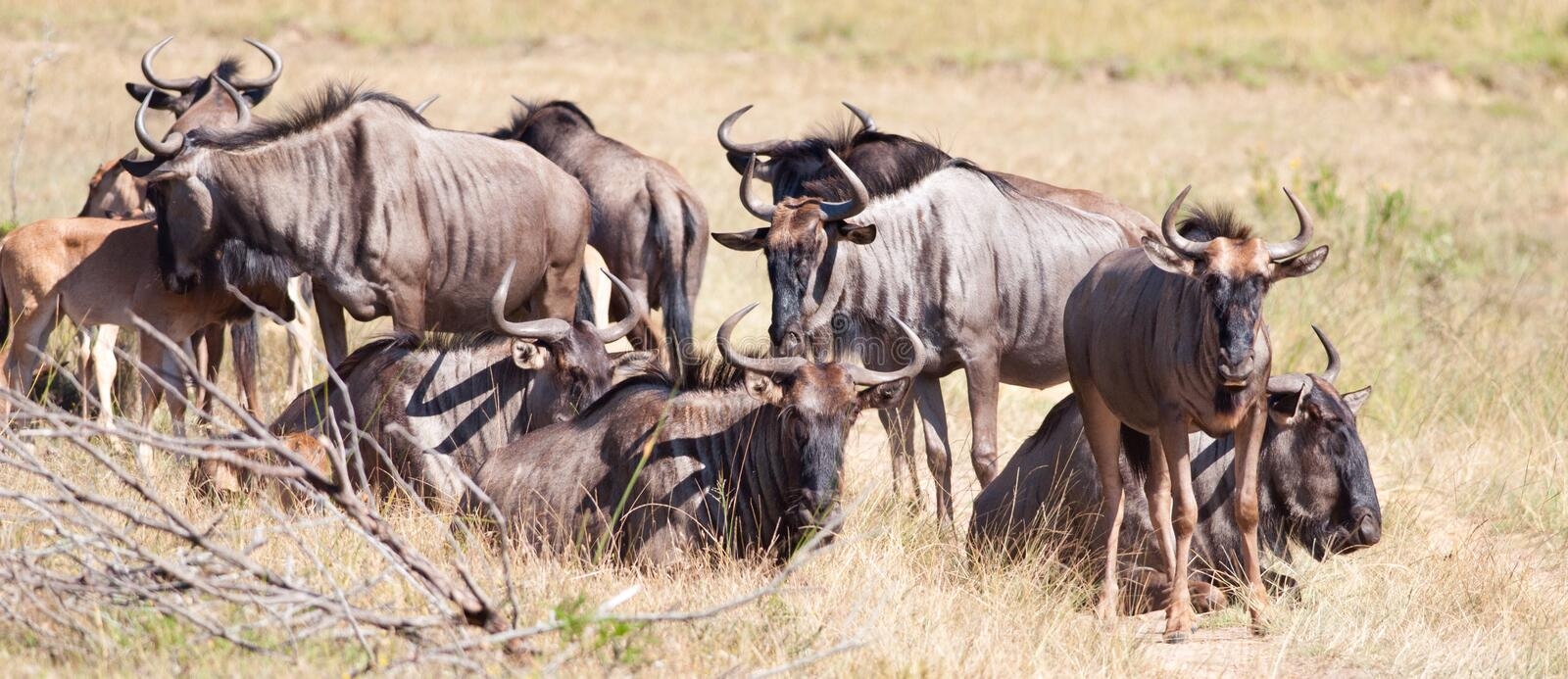 Family Gnu. Group of Blue Wildebeest sort of looking towards the camera stock image