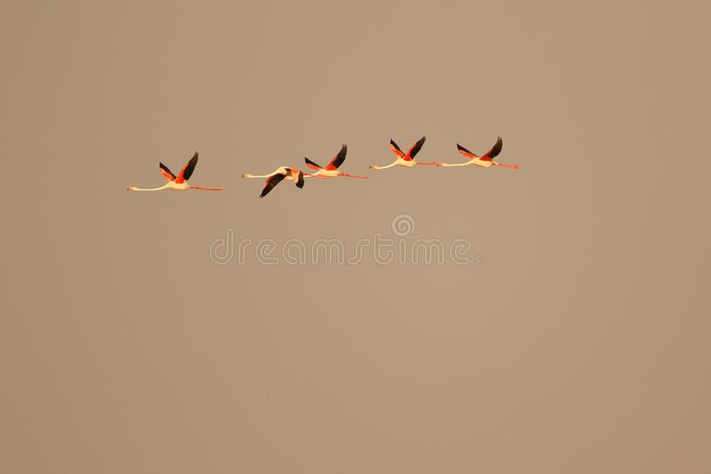 Greater flamingo bird flying royalty free stock images