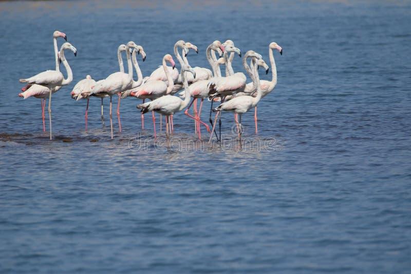 Family of greater flamingo stock photo