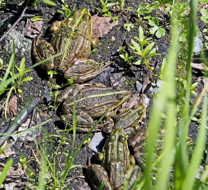 Family of green frogs basking in the sun on the shore of a pond stock image