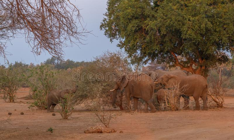 Small herd of African elephants forage together in the Kruger National Park in South Africa. A family group of African elephants forage on green leaves on bushes royalty free stock photos