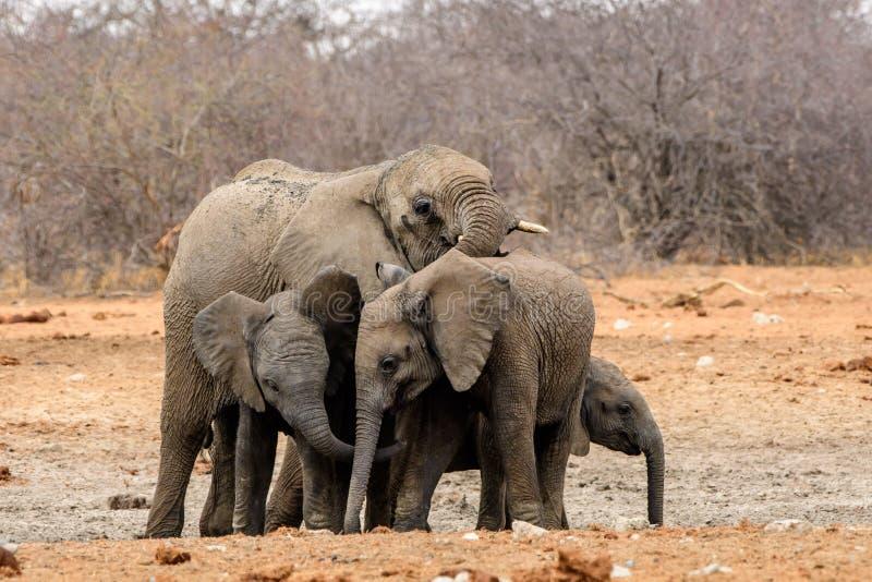 Family group of elephants. Small family group of elephants stock image