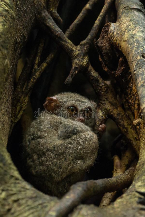 Tarsiers Tarsius tarsier family nesting in a tree in Tangkoko National Park, North Sulawesi, Indonesia. A family group of Tarsiers Tarsius tarsier nesting in a stock photography