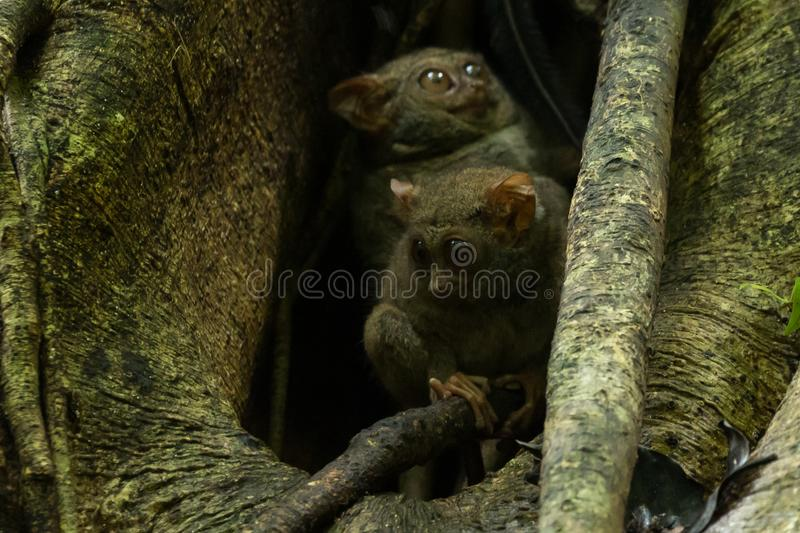Tarsiers Tarsius tarsier family nesting in a tree in Tangkoko National Park, North Sulawesi, Indonesia. A family group of Tarsiers Tarsius tarsier nesting in a stock images
