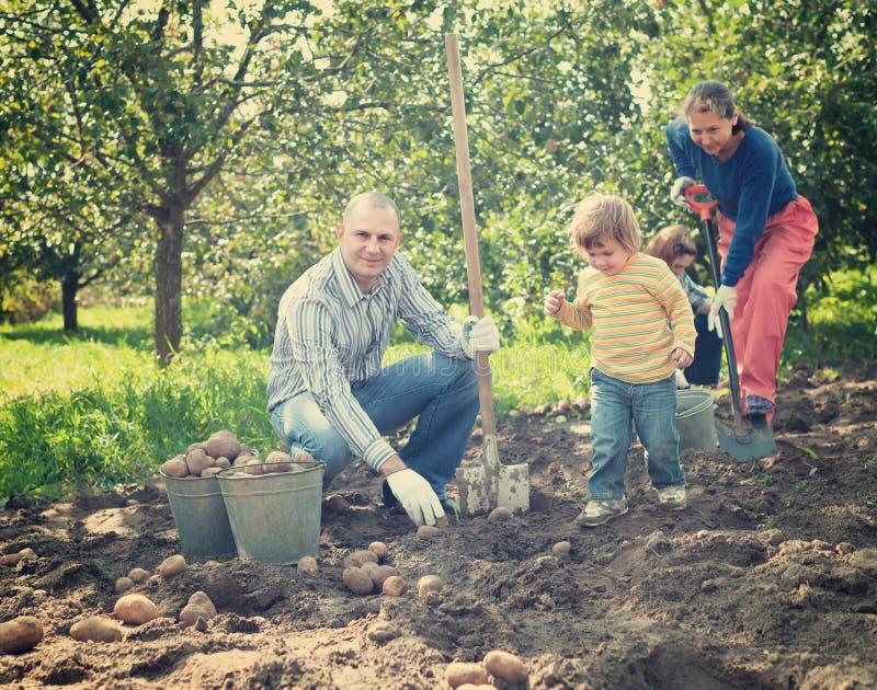 Family harvesting potatoes in garden. Happy family harvesting potatoes in vegetables garden stock photography